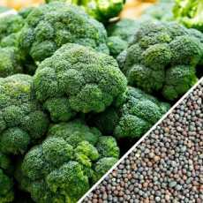 Best Quality Hybrid F1 Heat Resistant Summer Planting Broccoli Seed High Yield