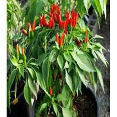 Thai Pepper Seeds (Hot Chilli Seeds) More Fruiting