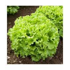 lettus seeds Hybrid