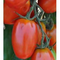 Tomatoes seeds f1 more fruiting