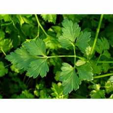 Parsley plain t f1 (DEAL OF 3) by [ STAR BRAND'S  GARDEN ]