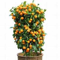 10 Pcs - Orange Potted Fruit Dwarf Orange Tree Seeds  Indoor