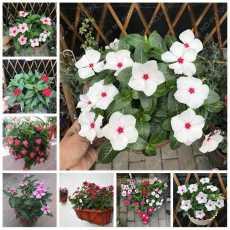 Vinca Rosea Tall Peri Winkle Beautiful Flower Mix Seeds