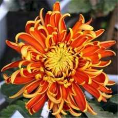 15 Pcs Seeds Novel Rainbow Chrysan themum Indoor Bonsai Beautiful Perennial...