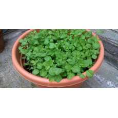 50 Pcs Seeds - Fenugreek seeds (Methi) - (Vegetable seeds) BY VIP Deals