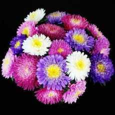 Aster Mix Flower Seeds