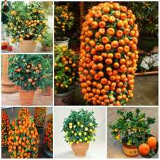 10 Pcs - Bonsai Orange Potted Fruit Dwarf Indoor Plant Home Garden plant
