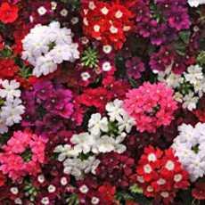 Verbena MIX Beautiful Flower Seeds